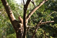 在树的猴子攀登 免版税库存图片