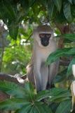 在树的猴子,肯尼亚 图库摄影