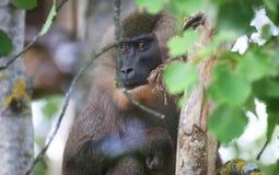 在树的钻子猴子 免版税图库摄影