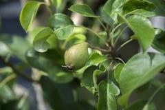 在树的年轻梨果子 免版税图库摄影