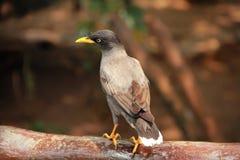 在树的黑椋鸟 免版税库存图片