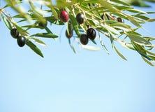 在树的黑橄榄反对蓝天 浅深度的域 选择聚焦 库存照片