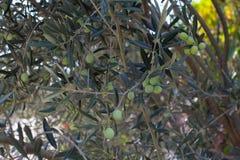 在树的绿橄榄在秋天 图库摄影