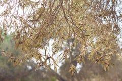 在树的黑橄榄在秋天 免版税库存照片
