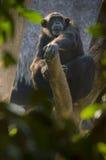 在树的黑猩猩 图库摄影