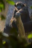在树的黑猩猩 库存照片
