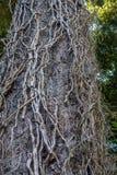 在树的死的藤 免版税库存图片