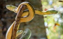 在树的绿眼镜蛇蛇在乌干达,非洲 免版税库存照片