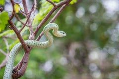 在树的绿眼镜蛇 免版税图库摄影