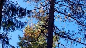 在树的滑稽的灰鼠紧张地摇摆蓬松尾巴 股票视频