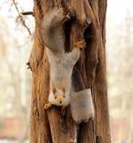 在树的滑稽的灰鼠 库存照片