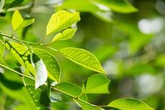 在树的绿色叶子本质上 库存照片