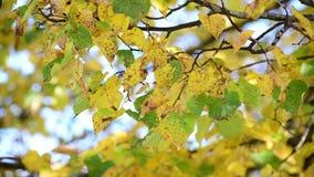 在树的黄色和绿色叶子在秋天 股票视频
