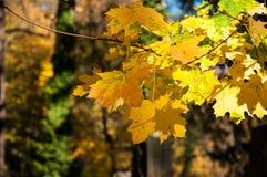 在树的黄色和绿色叶子 免版税图库摄影