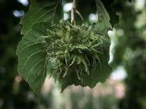在树的绿色未成熟的榛子 库存照片