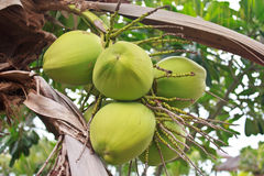 在树的绿色椰子 免版税库存图片