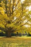 在树的黄色秋叶 免版税库存照片