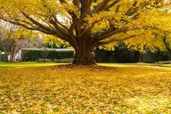 在树的黄色秋叶 库存图片