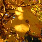 在树的黄色秋天叶子 免版税图库摄影