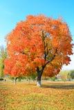 在树的黄色秋天叶子 免版税库存图片