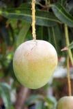在树的绿色芒果在果树园。 免版税库存图片