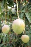 在树的绿色芒果在果树园。 图库摄影