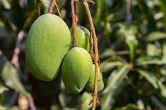 在树的年轻绿色芒果 库存照片