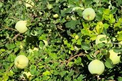在树的绿色苹果柑橘果子 免版税库存照片