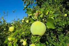 在树的绿色苹果柑橘果子 免版税库存图片