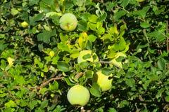 在树的绿色苹果柑橘果子 图库摄影