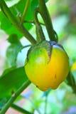 在树的黄色茄子 免版税库存照片