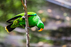 在树的绿色鹦鹉 免版税库存照片