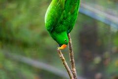 在树的绿色鹦鹉 免版税图库摄影