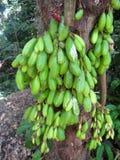 在树的绿色Bilimbi果子群在热带北部岸奥阿胡岛,夏威夷 库存图片