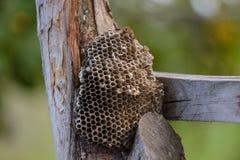 在树的黄蜂巢 库存图片
