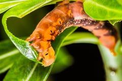 在树的蝴蝶幼虫 免版税库存图片