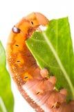 在树的蝴蝶幼虫 免版税库存照片