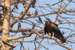 在树的黑鸢与玫瑰色椋鸟在果阿,印度 免版税库存照片