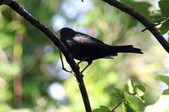 在树的黑鹂 图库摄影