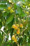 在树的年轻lychee果子 库存照片