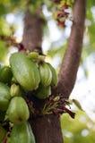 在树的Bilimbi果子,当您从地面查寻 库存照片