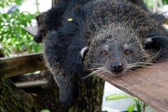在树的Binturong睡眠 库存图片