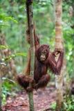 在树的Bornean猩猩 图库摄影