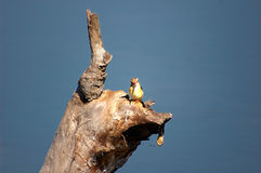 在树的Brid在南非 免版税库存照片