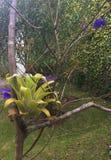 在树的Bromeliad Gowing 免版税图库摄影