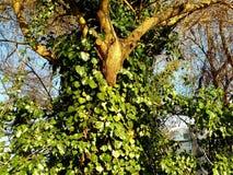在树的Efoy 库存照片