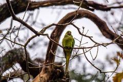 在树的Greenfinch鸟 免版税图库摄影