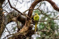 在树的Greenfinch鸟 库存图片