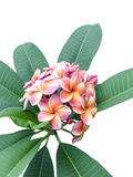 在树的Leelawadee花,被隔绝的,白色背景 库存图片