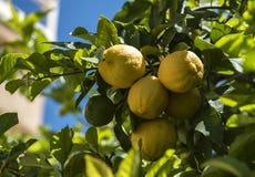 在树的Lemones 库存照片